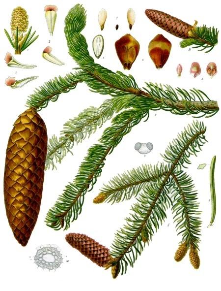 Picea_abies_-_Köhler–s_Medizinal-Pflanzen-105